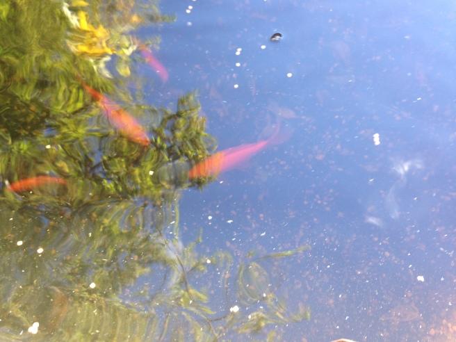 Comet Golffish